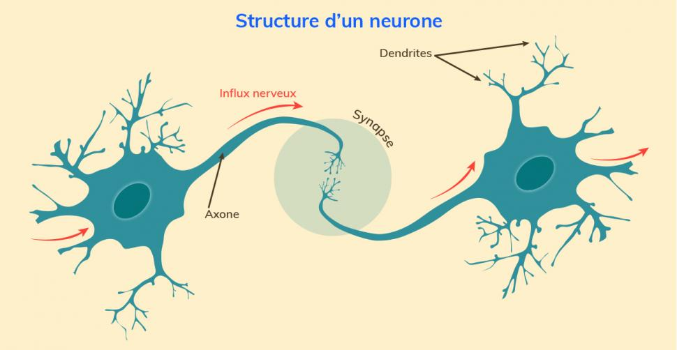 Structure d'un neurone